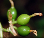 Producing Countries of Cardamom, Cardamom Producers In The World, Largest Producer of Cardamom
